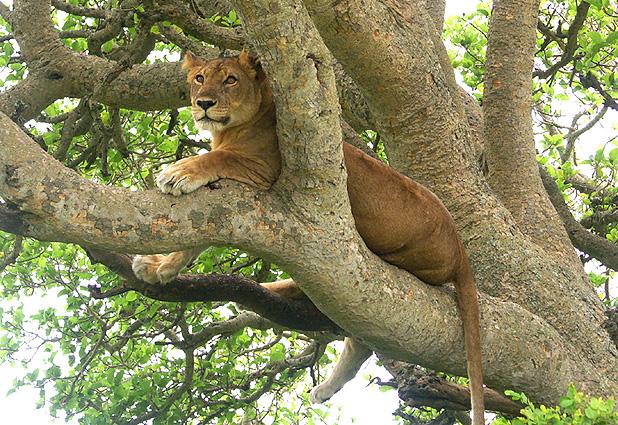 Baumloewe Uganda Safari