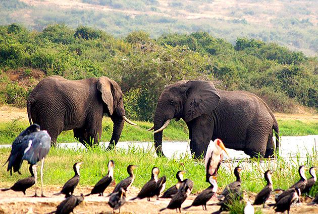 Elefanten Uganda Safari