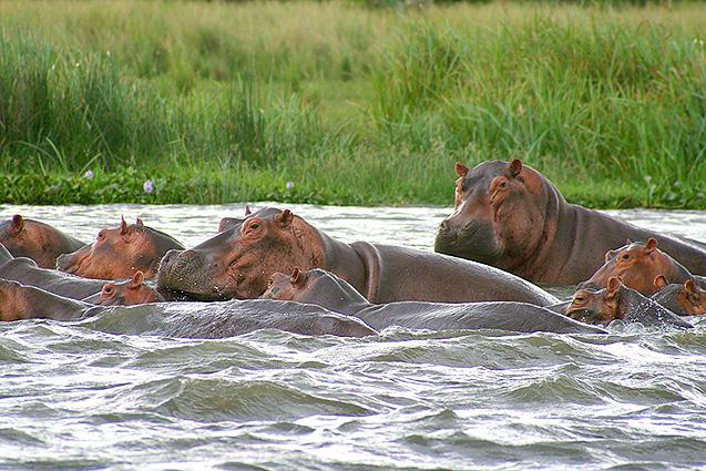 Uganda Safari Flusspferde