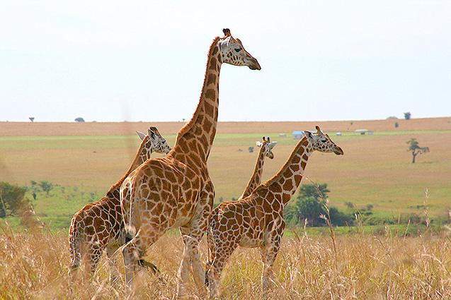 Giraffen Uganda Safari