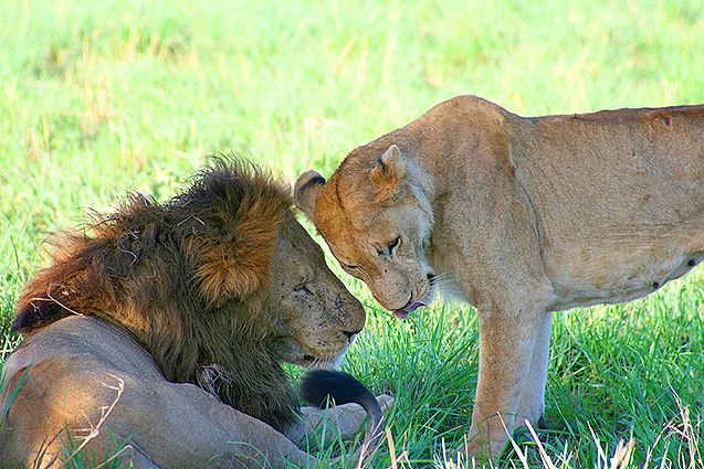 Loewenpaar Uganda Safari