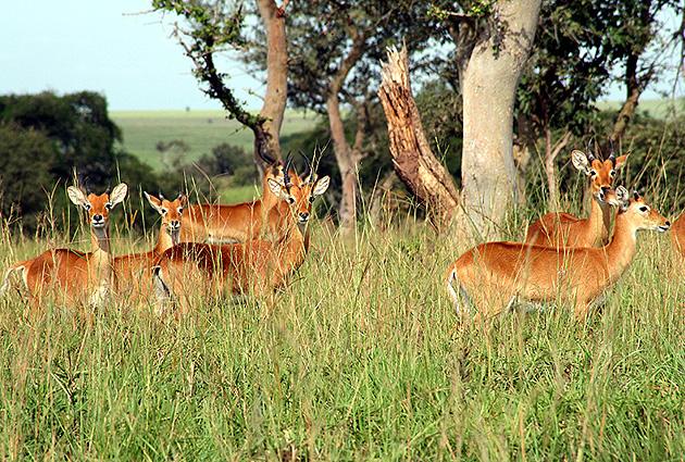 Uganda Safari Antilopen