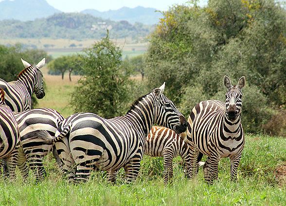 Uganda Safari Zebras