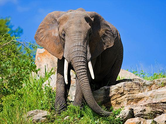 Tansania Safari Elefant