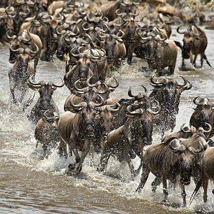 Tansania Safari Gnus