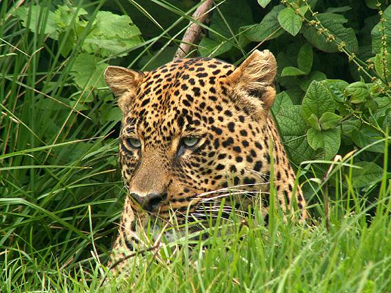 Tansani Safari Leopard