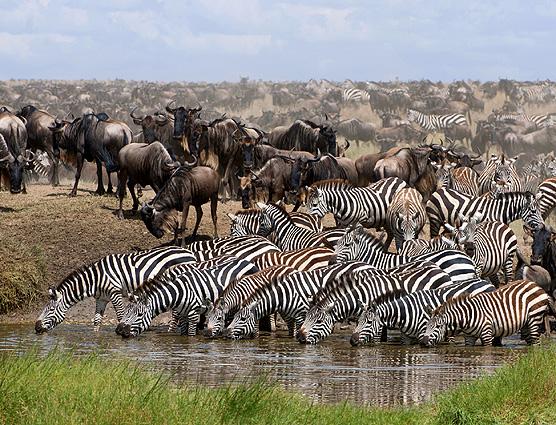 Tansania Safari Zebras Gnus