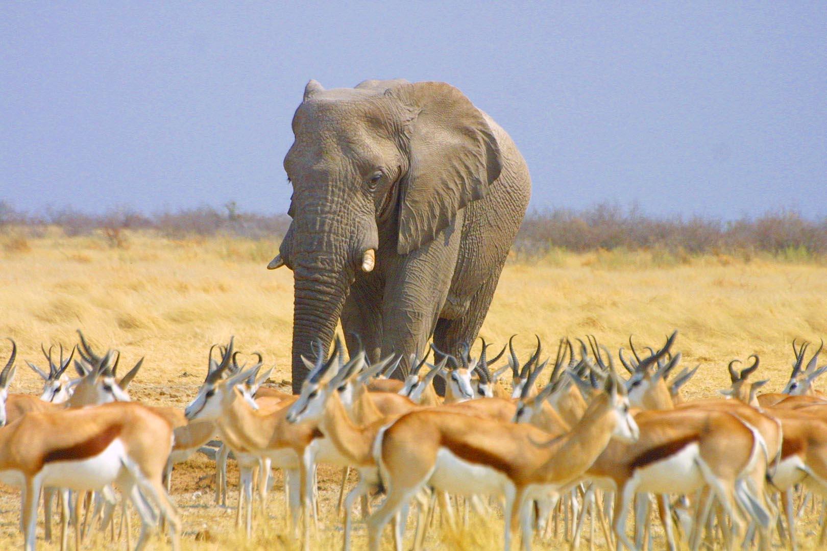Namibia Safari Elefant, Springbock
