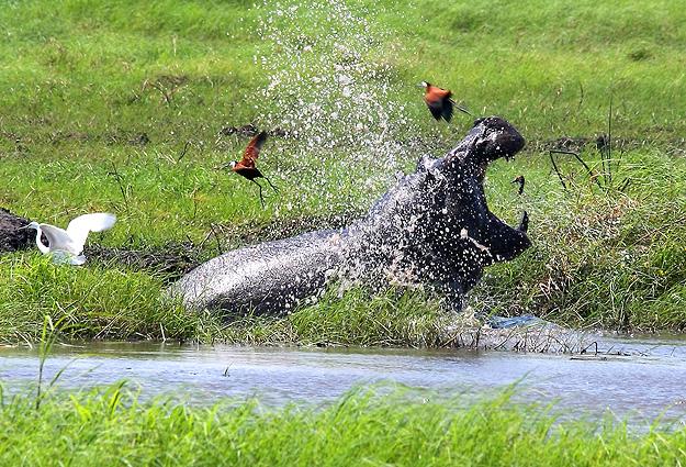 Namibia Safari Flusspferd