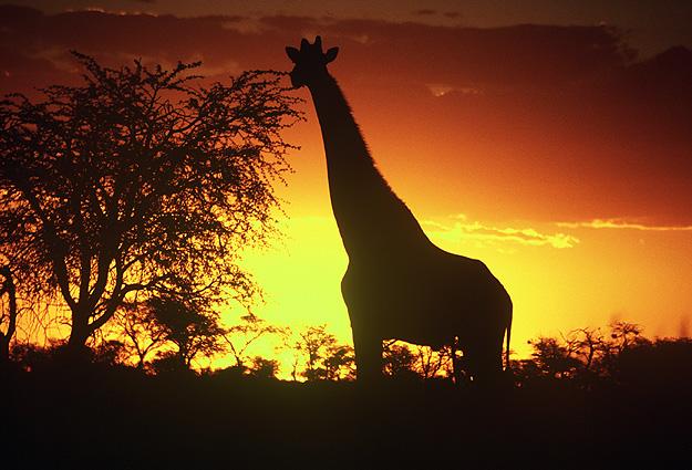 Namibia Safari Giraffe