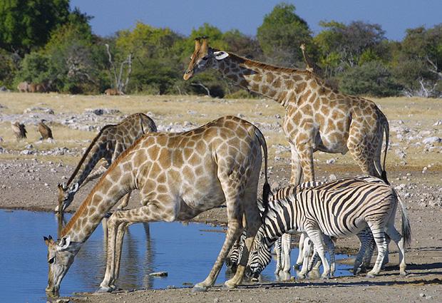 Namibia Safari Giraffen, Zebras