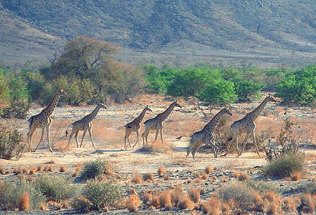 Namibia Safari Giraffen