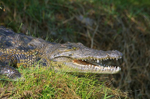 Namibia Safari Krokodil