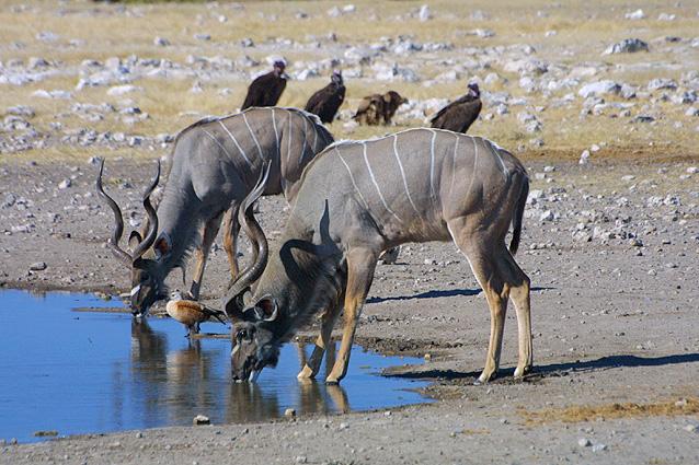 Namibia Safari Kudus