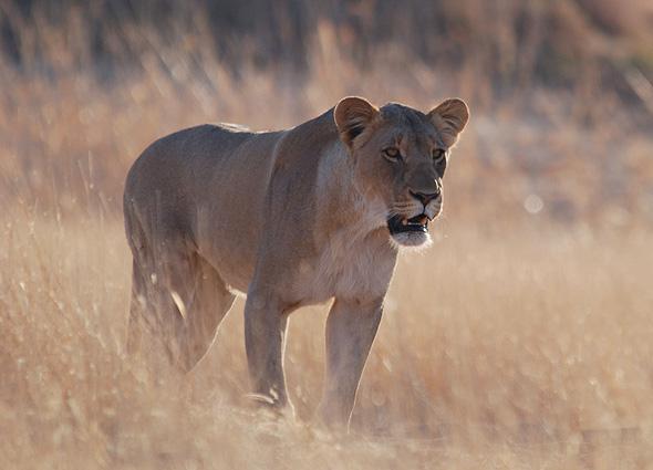 Namibia Safari Loewe