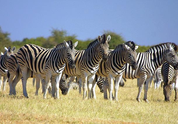 Namibia Safari Zebras