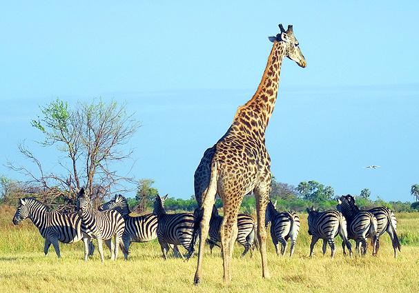 Botswana Safari Giraffe mit Zebras