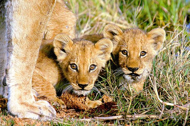 Botswana Safari Löwen