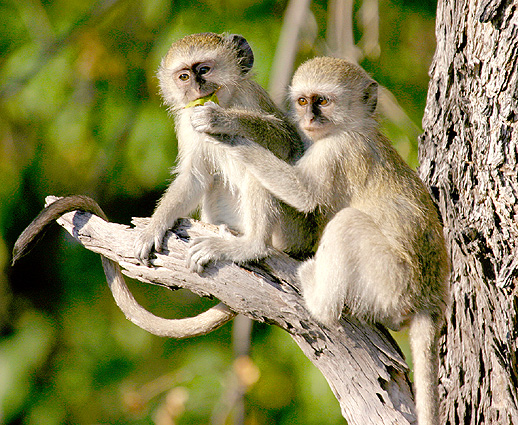 Botswana Safari Vevet -Affen
