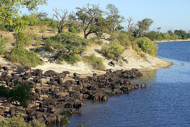 Botswana Safari Wasserbueffel