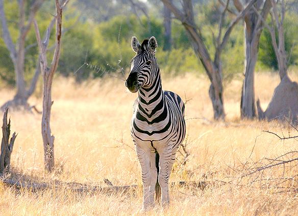 Botswana Safari Zebra