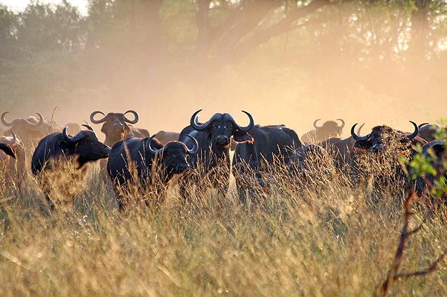 Namibia-Botswana Safari Büffel