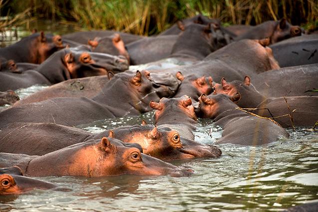 Südafrika Safari Flusspferde