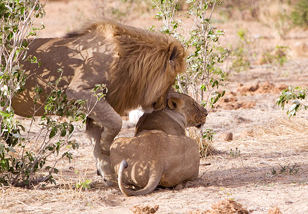Namibia Höhepunkte Löwenpaar