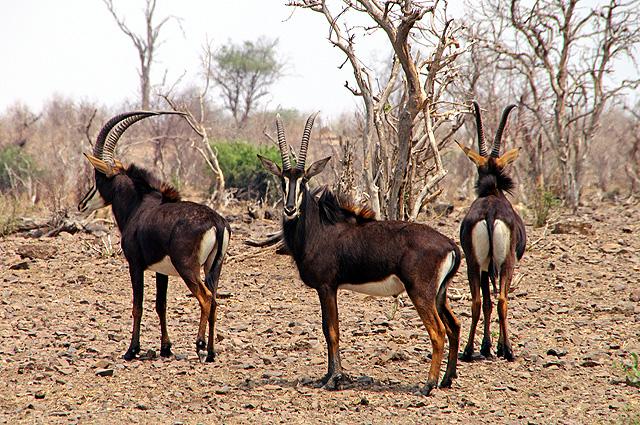 Namibia Rundrteise Antilopen
