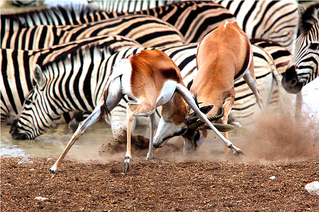 Namibia-Botswana Safari Springböcke-Zebras