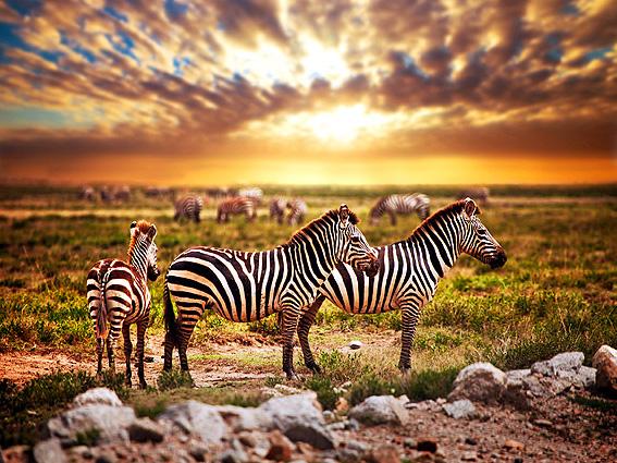 Namibia Höhepunkte Zebras