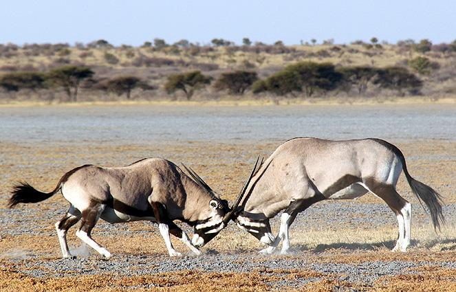 Botswana Spezial - Lodge Safari, Oryx
