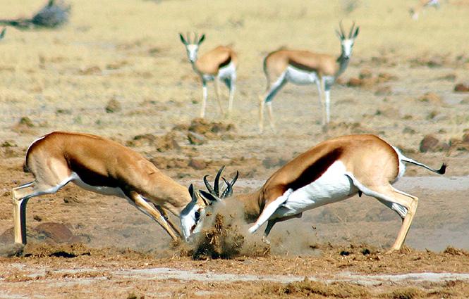 Botswana Spezial Camping-Safari, Spingböcke