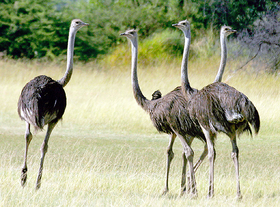 Südafrika - Mosambik Strauß