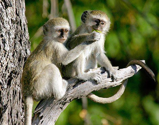 Botswana Spezial Camping-Safari, Vevet-Affen