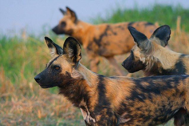 Botswana Spezial Camping-Safari, Windhunde