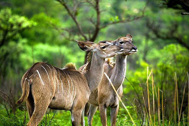 Südafrika - Mosambik Antilopen