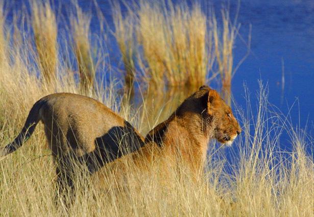Südafrika - Mosambik Löwe