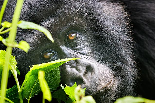 Uganda Safari Gorilla