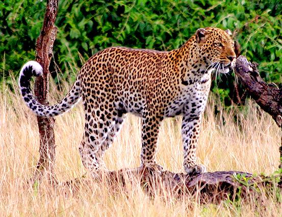 Uganda Safari Leopard