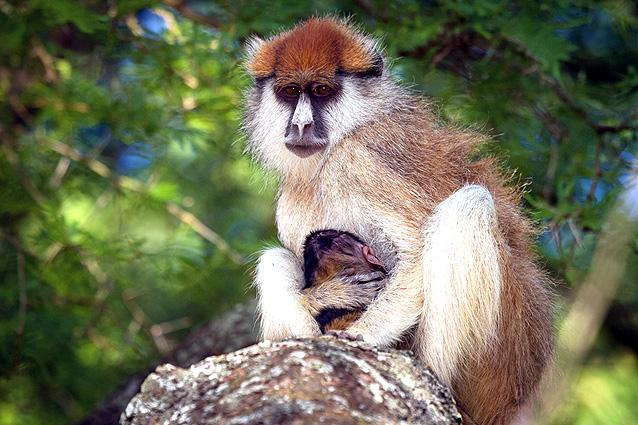Uganda Safari Patas-Affen
