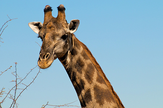 Namibia Nationalparks, Giraffe